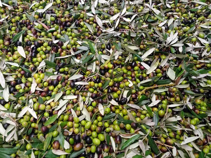produzione olio in toscana olive raccolte