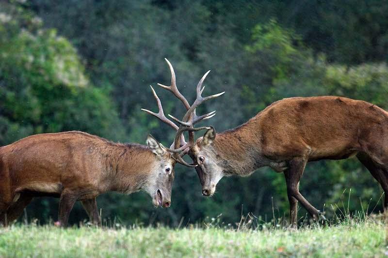 cervo lotta tra esemplari